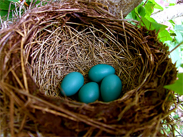 Four blue Robin's Eggs in a nest