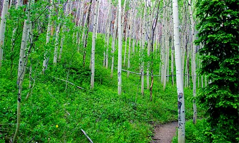 Very Green Path through a big patch of Birch Trees