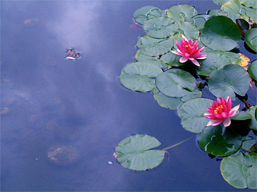 Pink Lotuses on pond reflecting the sky
