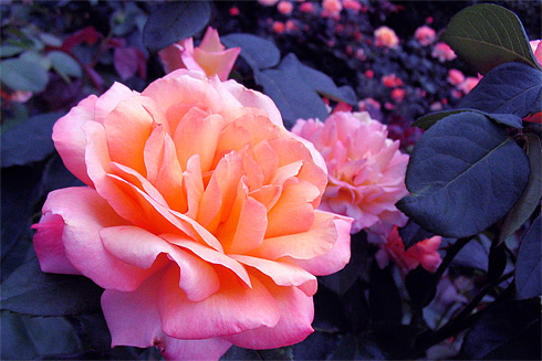 Gorgeous Pink & Orange rose closeup