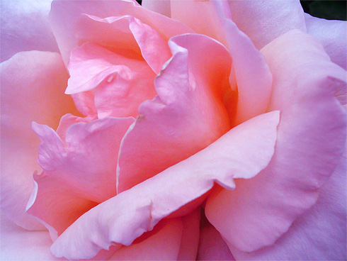 Delicate Pink Rose closeup