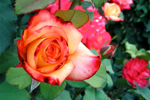 Award-winning Rainbow Sorbet Rose