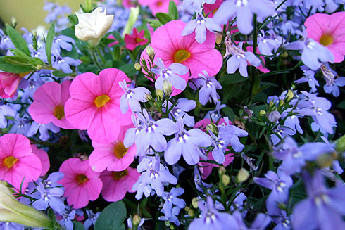 Periwinkle and Pink flowers