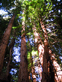 Coast Redwoods (Sequoia sempervirens) towering into the sky