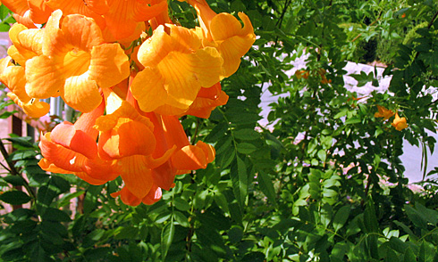 Orange desert blooms and green leaves