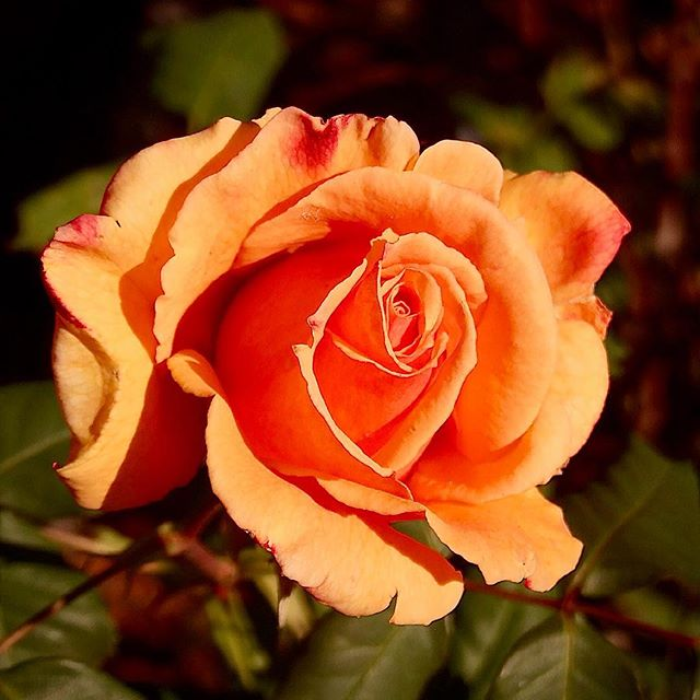 Tahitian Sunset Rose of Berkeley Rose Garden