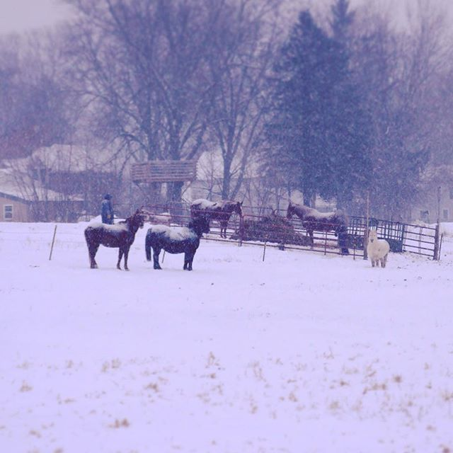 Ponies in a snowy field
