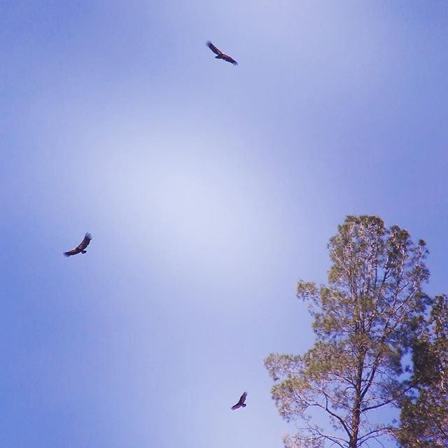 Two California Condors & A Turkey Vulture above Pinnacles National Park