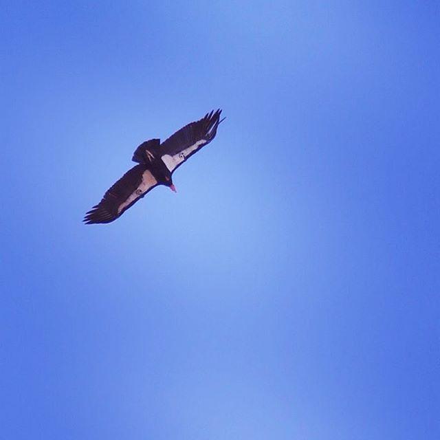 California Condor soars over us at Pinnacles National Park