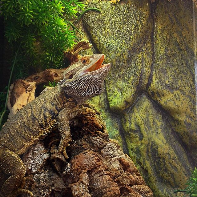 Bearded Dragon smiling for camera