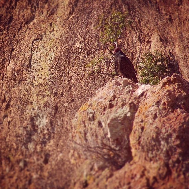 Turkey Vulture perched in Pinnacles National Park