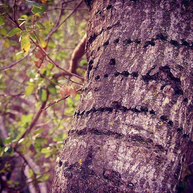 Lines of Sap Sucker holes in the bark