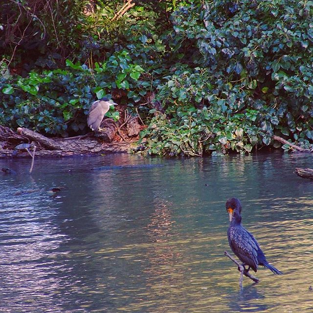 Double-crested Cormorant and Black-crowned Night-heron by Palace of Fine Arts