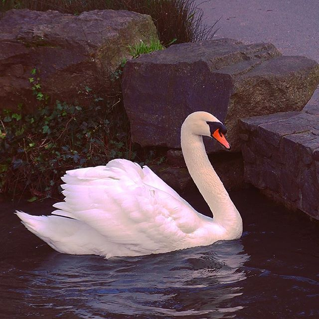 The VERY Friendly Mute Swan at the Palace of Fine Arts