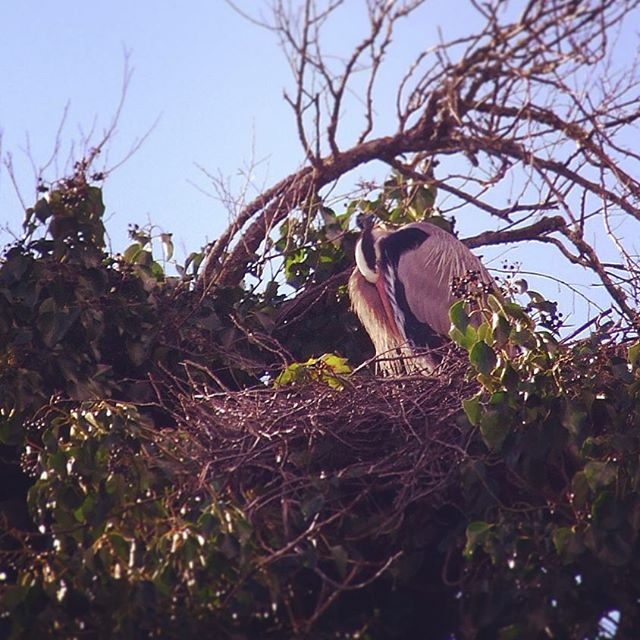A Blue Heron in its Huge Nest in Palace of Fine Arts, San Francisco