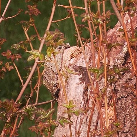 Spotted a Western Fence Lizard by Folsom Lake