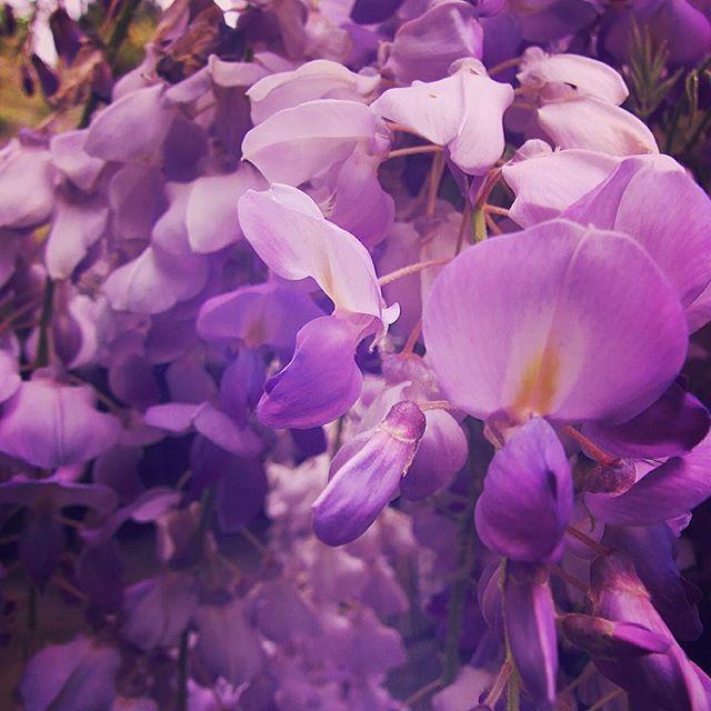 Wisteria Flowers in full Spring Bloom