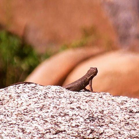 Western Fence Lizard grabbing sun near Lake Folsom
