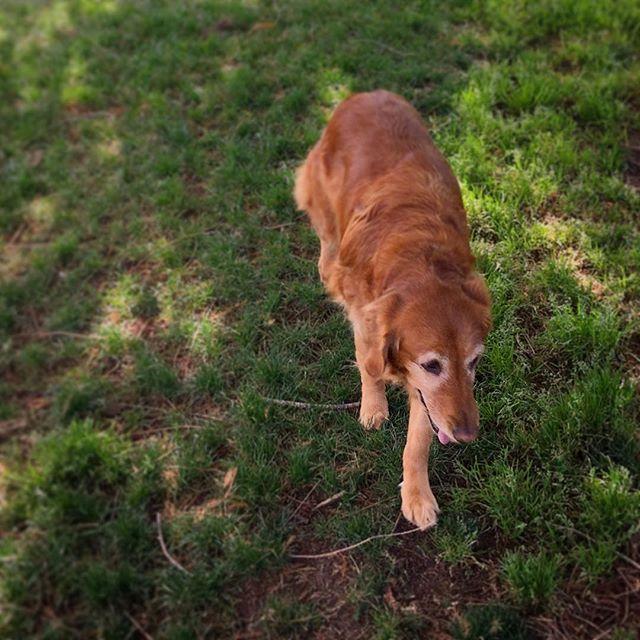 Sweet Golden Retriever at Mission Delores Park