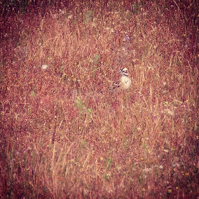 Saw a Lark Sparrow for the 1st Time