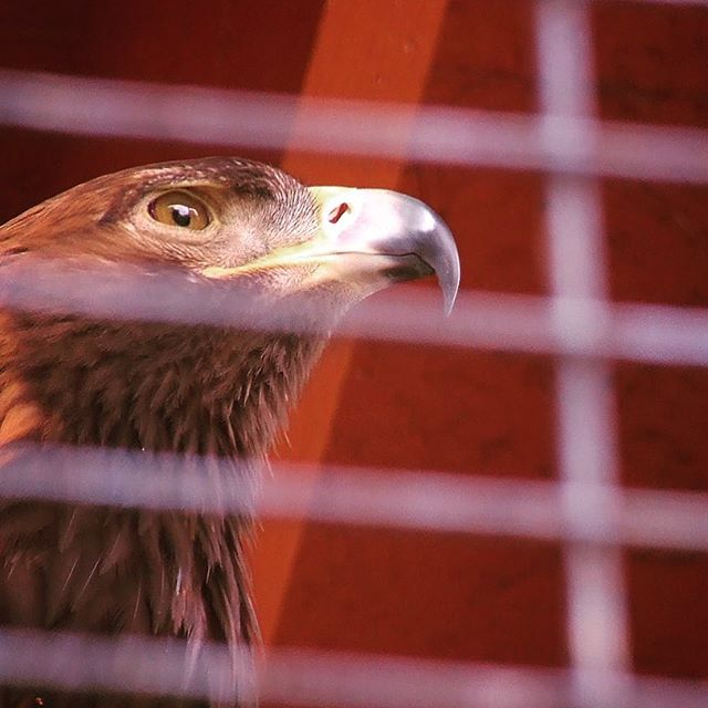 Dignified Golden Eagle at Folsom City Zoo Sanctuary