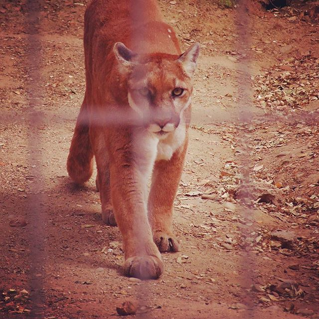 Mountain Lion looking right through me at Folsom City Zoo Sanctuary