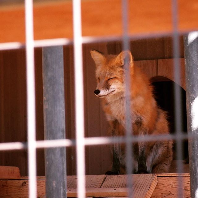 Mr. Fox closing his eyes (Folsom City Zoo Sanctuary)