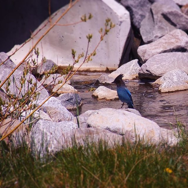 Stellar's Jay by Kings Beach