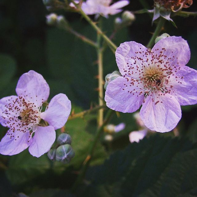 Fragrant blackberry flowers in Marshall Gold Discovery Historic Park