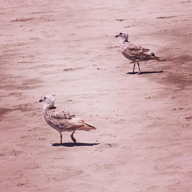 Two Western Gulls on Stinson Beach