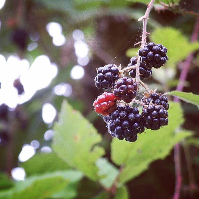 Wild Blackberries at Sandy River Delta Park in Troutdale Oregon
