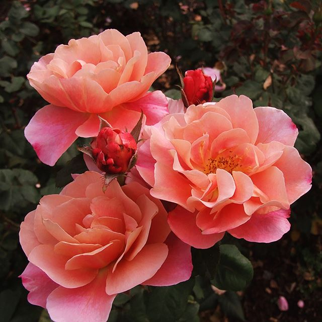 STUNNING Distant Drums Rose at International Rose Test Garden (Portland)