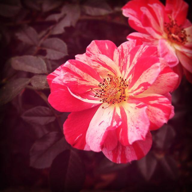 DREAMY Striped Delight Rose at International Rose Test Garden Portland