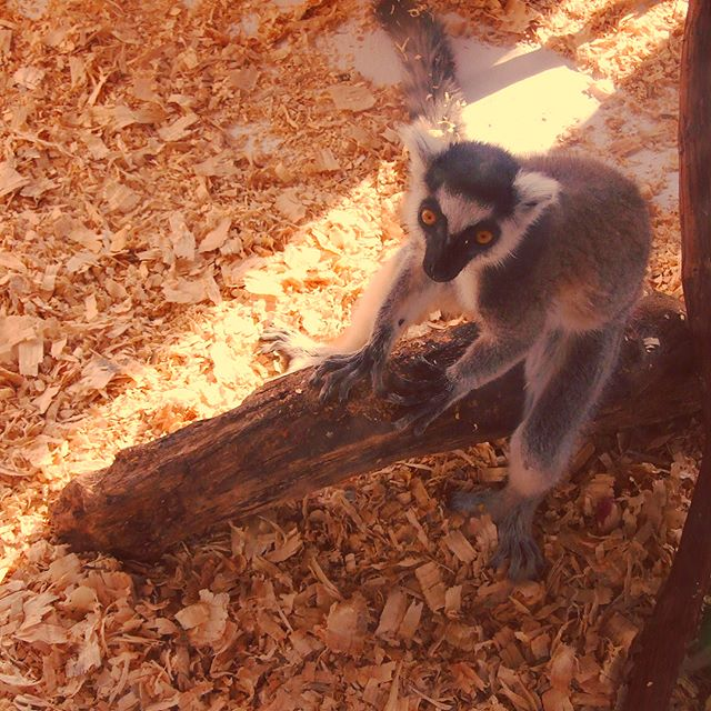 4 month old Ring-Tailed Lemur at Timbavati WildLife Park, Wisconsin Dells