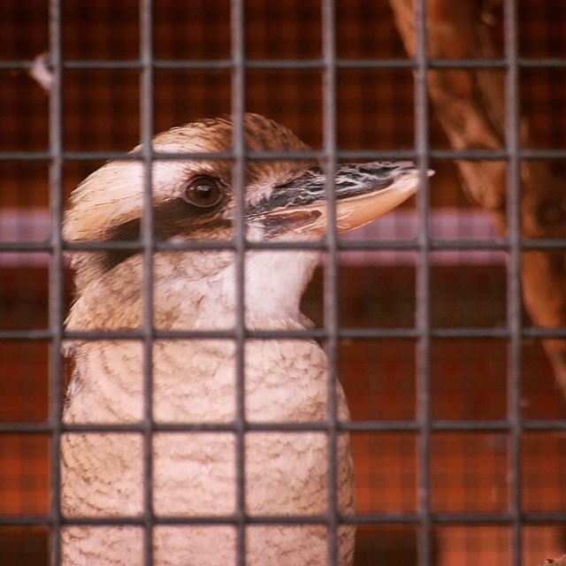 Kookaburra at Timbavati Wildlife Park, Wisconsin Dells
