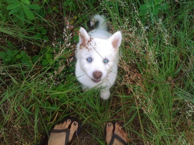 Blue-eyed White Wolf Pup Nico