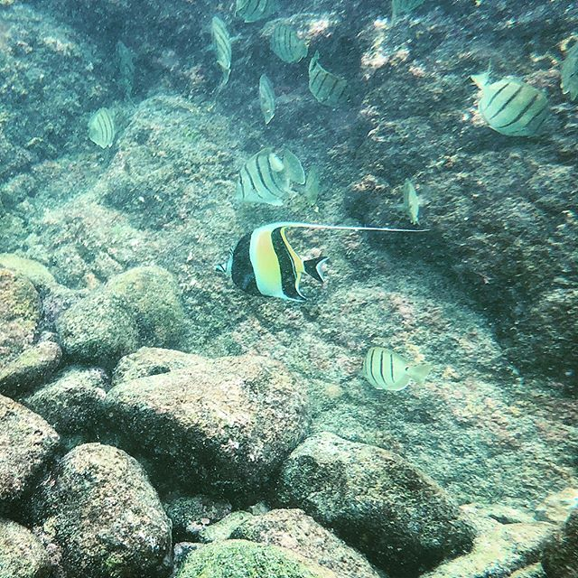 Moorish Idol at Two Step in Honaunau