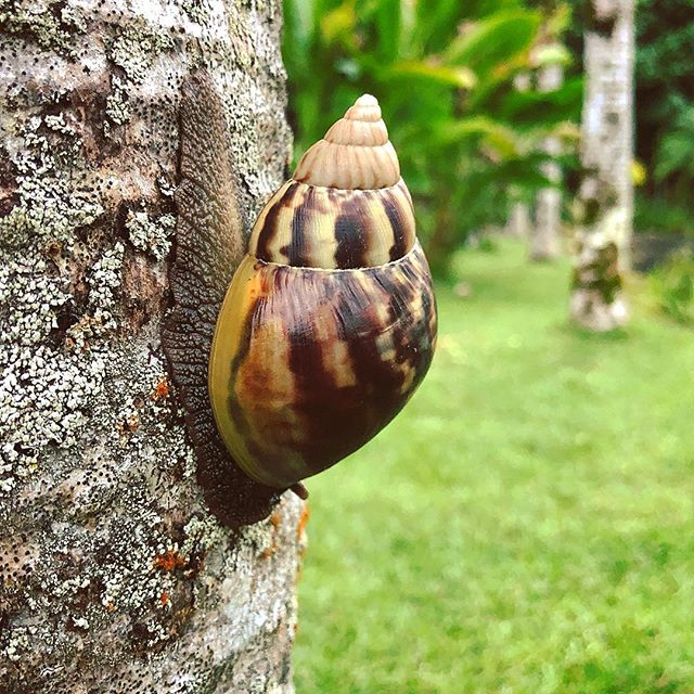 A Snail in Hawaiian Paradise Park, Big Island