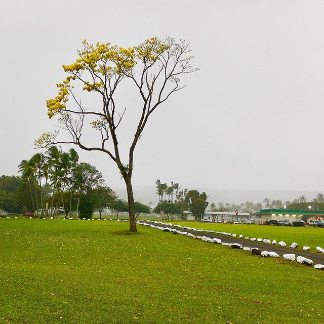 Lone Golden Leaved Tree by King Kamehameha Statue, Hilo, HI