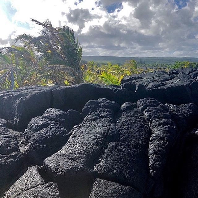 Coconut Trees growing out of Kalapana Lava