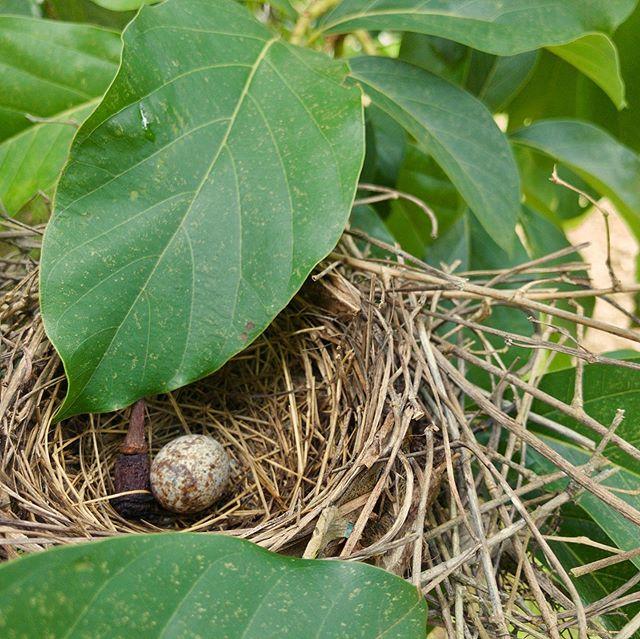 Cardinal Egg in an Avocado Tree