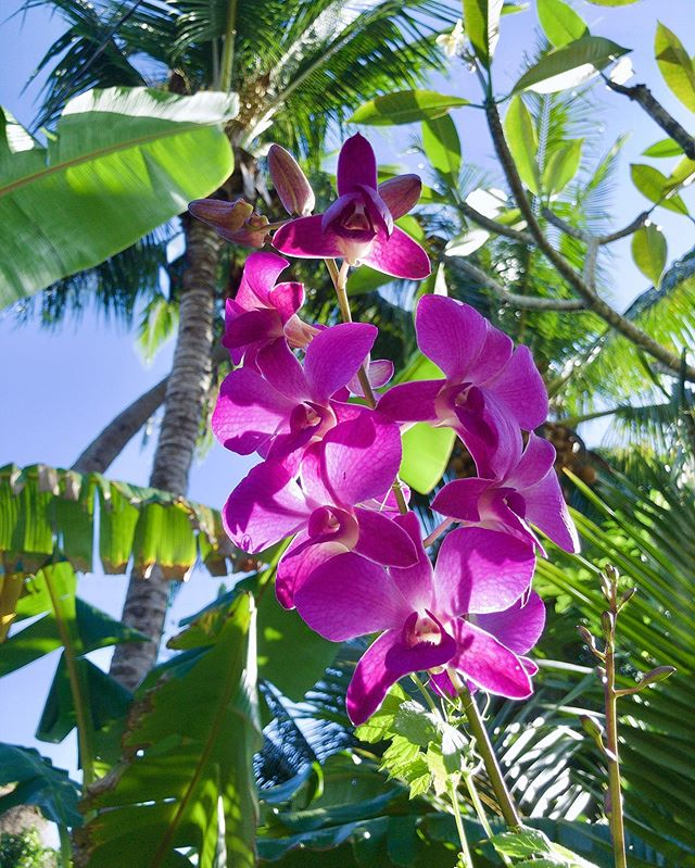 Purple Orchids in Kalapana, near Uncle Robert's Night Market