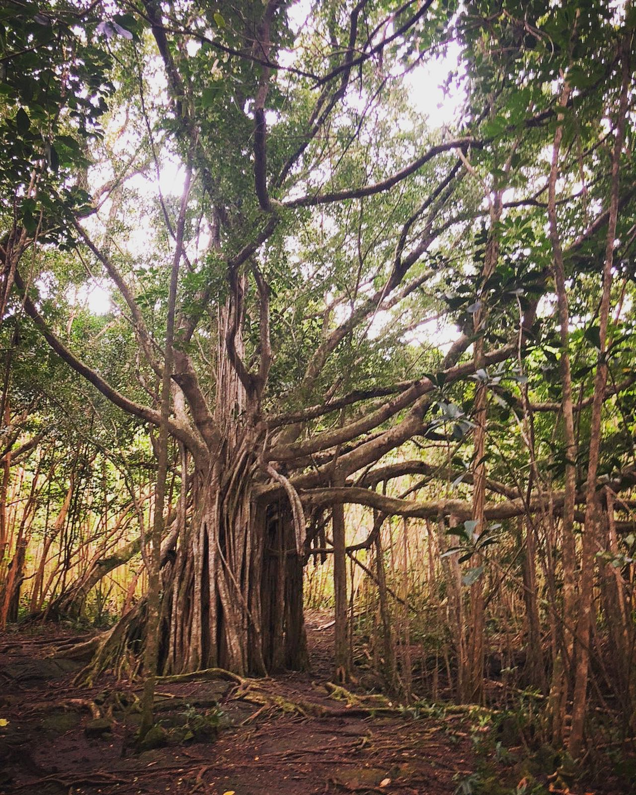 Beautiful Banyan on Big Island