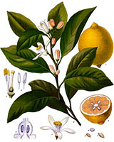 Lemon Tree diagram