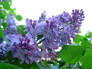 Lilac Blooms and Leaves