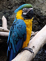 Stare of the Macaw